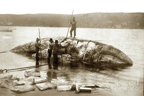 Photograph - California Gary Whale Being Cut Up By Whalers On The Beach In So by California Views Archives Mr Pat Hathaway Archives