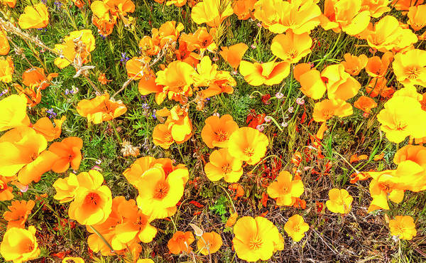 Photograph - California Poppies - 2019 #3 by Gene Parks