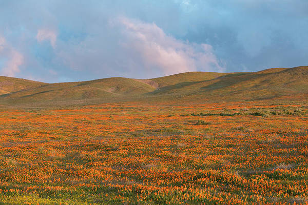 Wall Art - Photograph - California Poppies Bloom In Meadows by Brenda Tharp