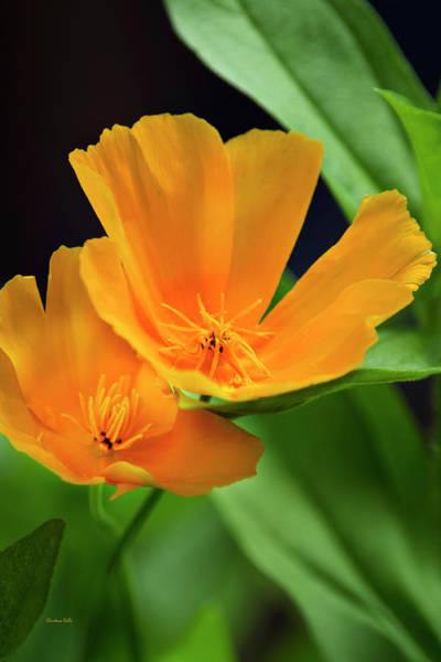 Photograph - California Poppies by Christina Rollo