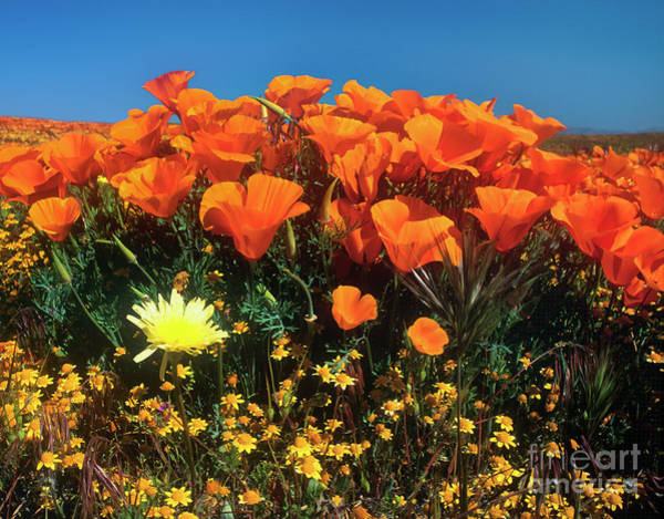 Photograph - California Poppies Desert Dandelions Goldfields California by Dave Welling