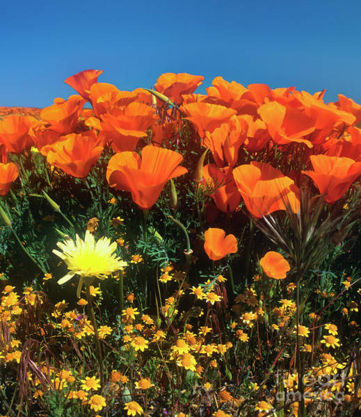 Photograph - California Poppies Frame A Desert Dandelion California by Dave Welling