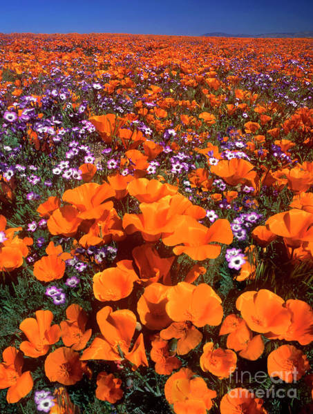 Photograph - California Poppies Hollyleaf Gilia California by Dave Welling