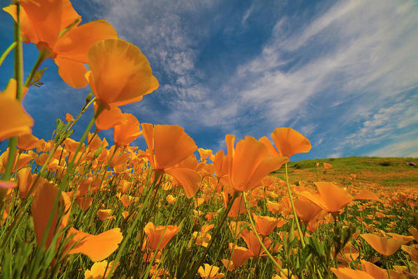 Photograph - California Poppies In Spring Bloom by