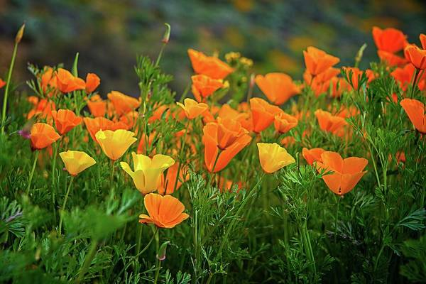 Photograph - California Poppies In Walker Canyon by Lynn Bauer