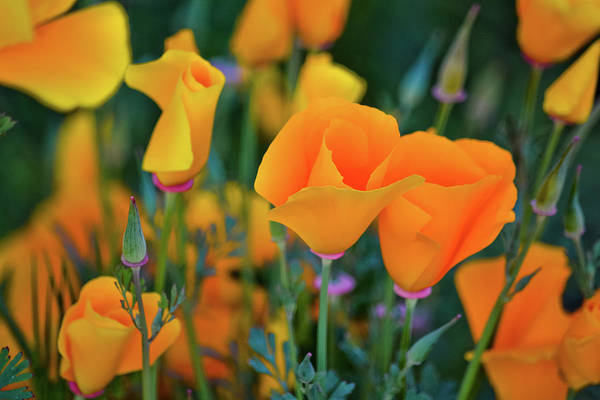 Art Print featuring the photograph California Poppies Lake Elsinore by Kyle Hanson
