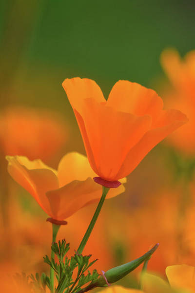 Photograph - California Poppies Portrait by Kyle Hanson