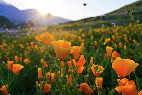 Photograph - California Poppies Sunset by Kyle Hanson