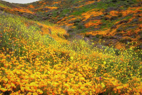 Photograph - California Poppies Superbloom by Alison Frank