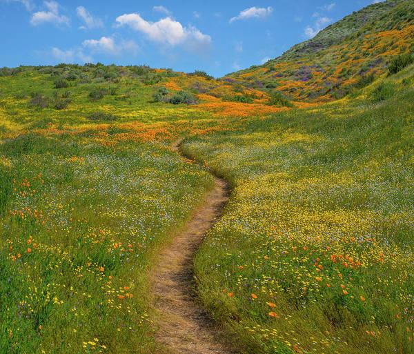 Photograph - California Poppy, Desert Bluebell by