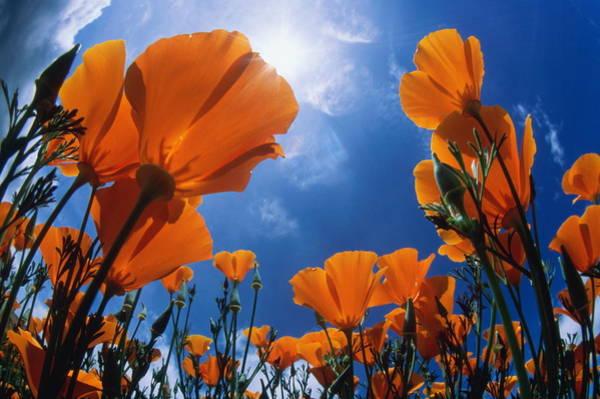 California Poppy Photograph - California Poppy Eschscholzia by George Lepp