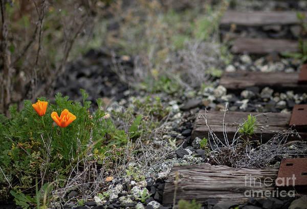 Wall Art - Photograph - California Poppy by Jennifer Ramirez