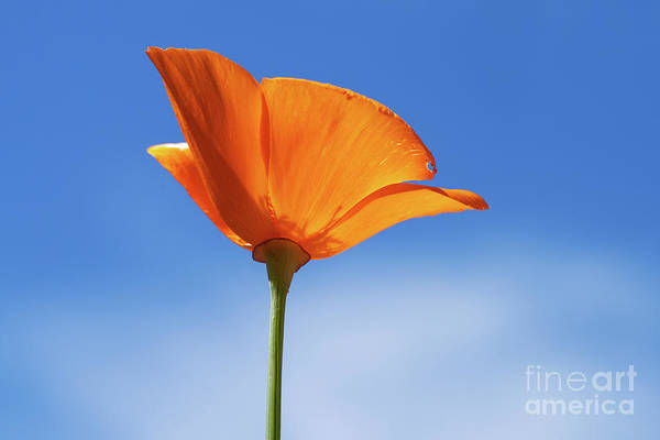 Wall Art - Photograph - California Poppy by Sarah Ainsworth