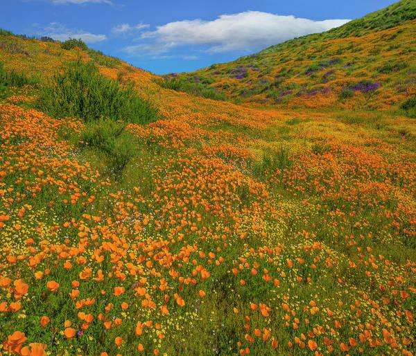 Photograph - California Poppy Spring Bloom, Diamond by
