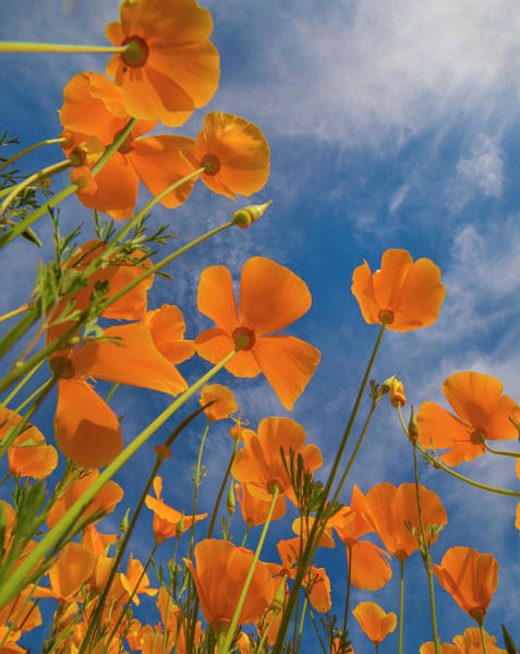 Photograph - California Poppy Spring Bloom, Lake by