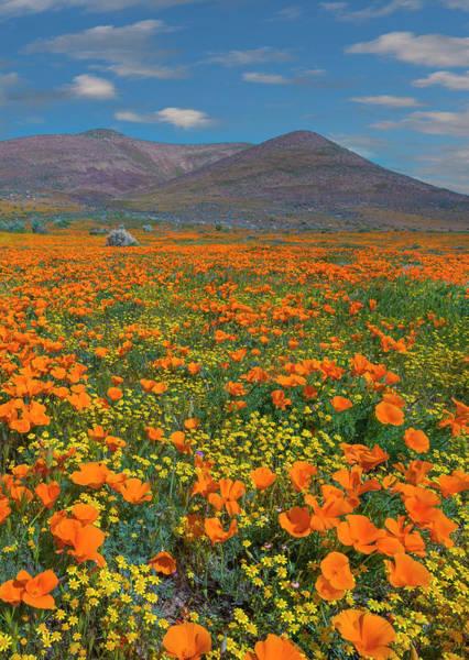 Photograph - California Poppy, Superbloom, Antelope by