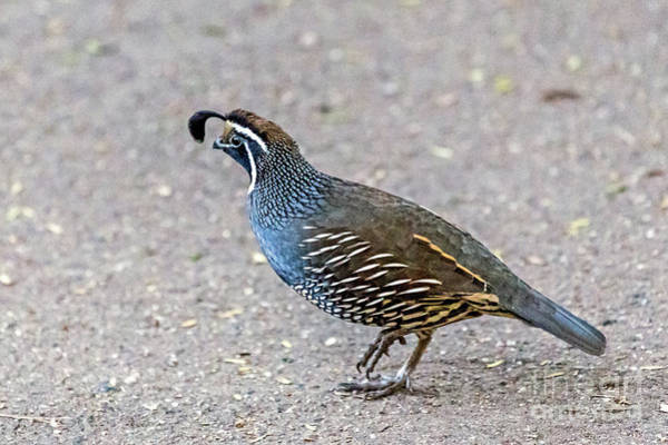 Photograph - California Quail by Kate Brown