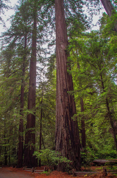 Photograph - California Redwood by Bill Cannon