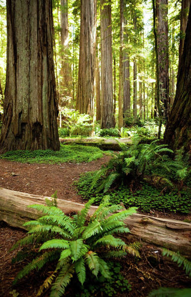 Sequoia Grove Photograph - California Redwood Forest by Andipantz
