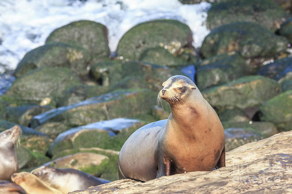Wall Art - Photograph - California Sea Lion La Jolla San Diego 2 by Edward Fielding