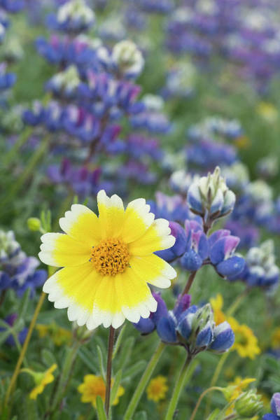 Wall Art - Photograph - California Tidy Tip Flower Stands by Brenda Tharp