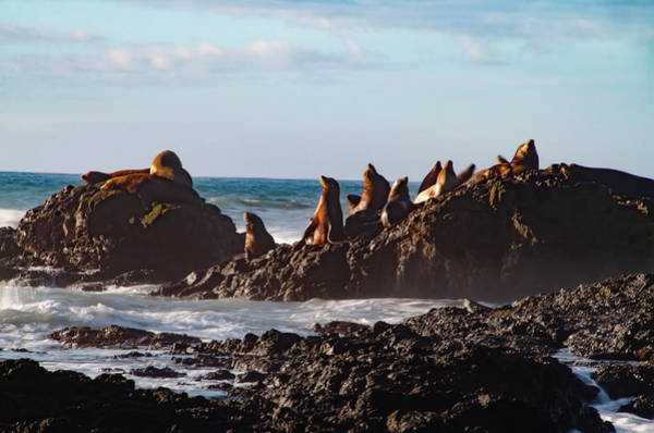 Photograph - California Wildlife  Sealions At Shelter Cove by Bill Cannon