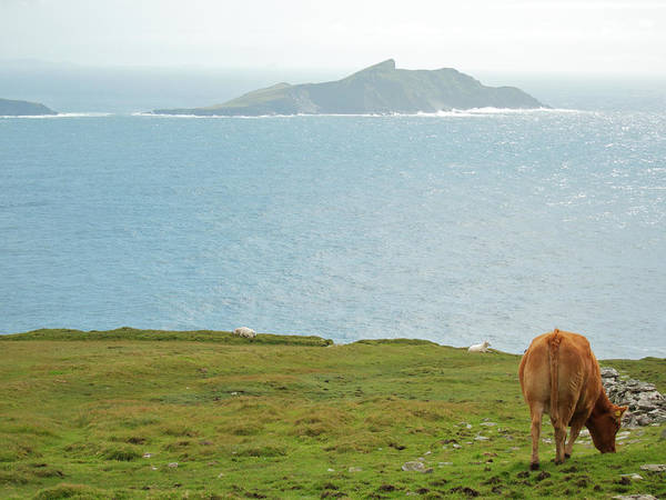 Sea Cow Photograph - Call In Irish Landscape  Seascape by Christina Reichl Photography