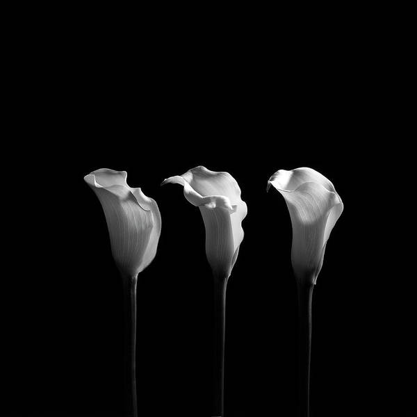 Blossom Photograph - Calla Lilies In Black And White by Alfonse Pagano