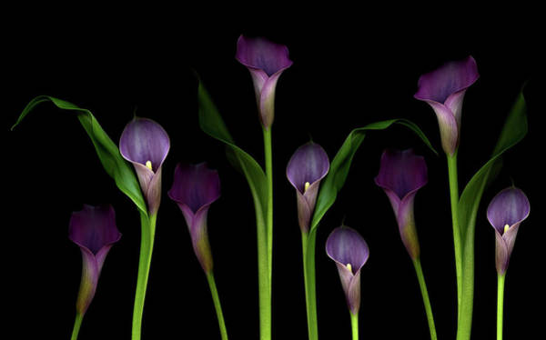 Lilies Wall Art - Photograph - Calla Lilies by Marlene Ford