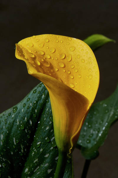 Wall Art - Photograph - Calla Lily After A Rain by Paul Freidlund