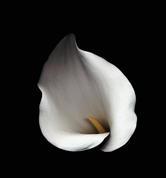 Calla Photograph - Calla Lily Against Black Background by Mike Hill