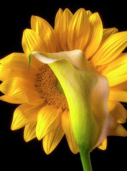 Radiant Photograph - Calla Lily And Sunflower by Garry Gay