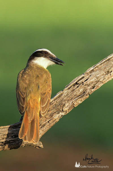 Photograph - Calling Kiskadee by David Cutts