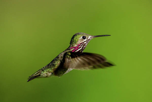 Photograph - Calliope Hummer by Ronnie and Frances Howard
