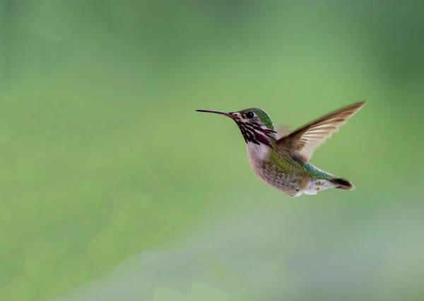Photograph - Calliope Hummingbird by Michael Chatt