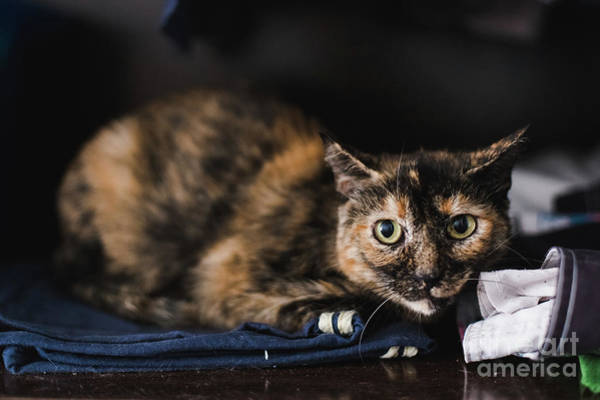 Photograph - Calm Pet Cats, Resting In A House With Unfocused Background. by Joaquin Corbalan