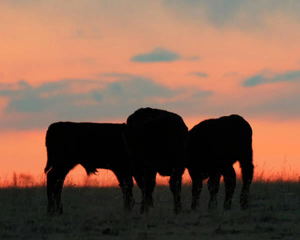 Photograph - Calves After Sunset 01 by Rob Graham