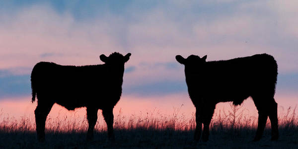Photograph - Calves After Sunset 02 by Rob Graham