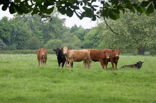 Cow Photograph - Calves In A Field Tree Framed by Tirc83