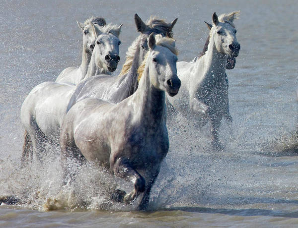 French Riviera Photograph - Camargue Horses, France by Keren Su