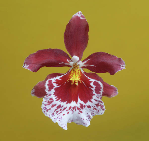 Cambria Photograph - Cambria Plush Orchid Flower by Rosemary Calvert