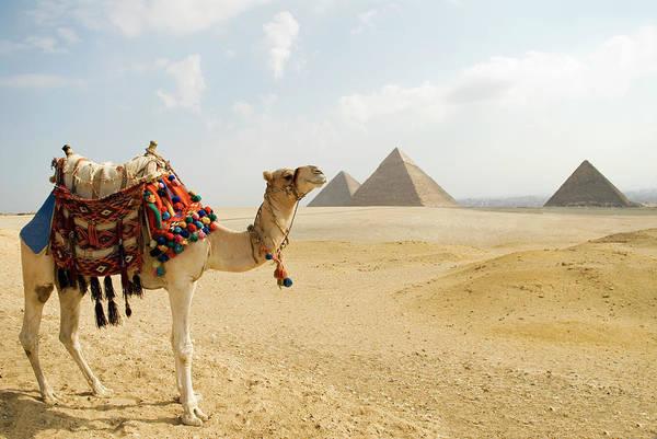 Giza Photograph - Camel At The Giza Plateau by Shanna Baker
