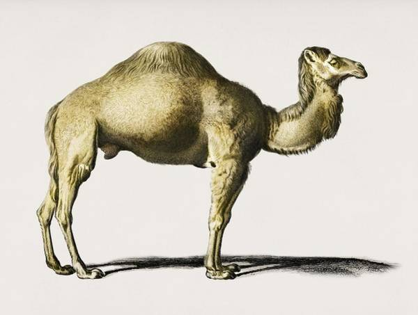 African Penguin Painting - Camel  Camelus  Illustrated By Charles Dessalines D' Orbigny  1806-1876  by Celestial Images