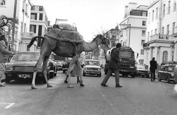 Exhibition Photograph - Camel Crossing by Evening Standard