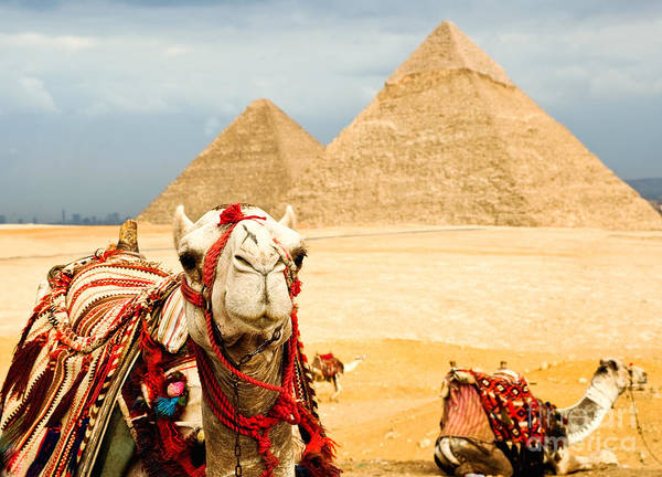 Wall Art - Photograph - Camel  In Egypt by Nutsiam