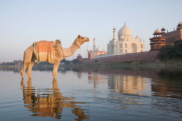 Wall Art - Photograph - Camel In The River With A Mausoleum In by Exotica.im