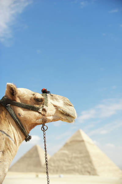 Giza Photograph - Camel Looks Out Over Great Pyramids Of by Peskymonkey