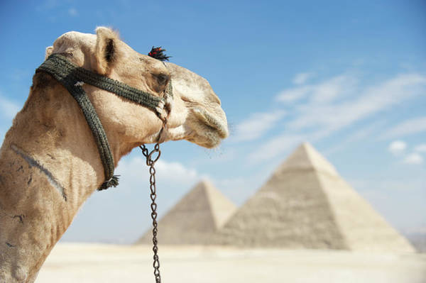 Giza Photograph - Camel Looks Out Over Great Pyramids by Peskymonkey