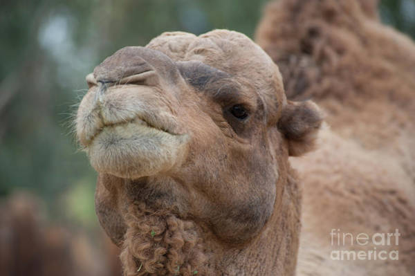 Photograph - Camel Up Close by Christy Garavetto