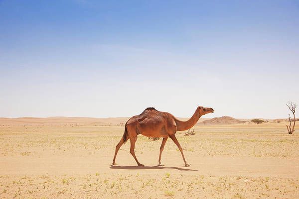 Dromedary Photograph - Camel Walking Alone In The Desert by Mlenny